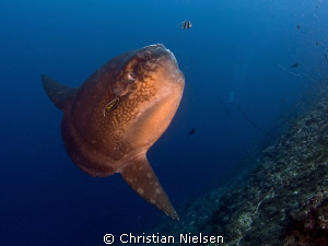 Mola mola in Crystal Bay, Nusa Penida today. Great experi... by Christian Nielsen 